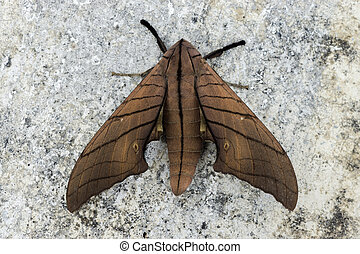 Ambulyx pryeri is a moth of the Sphingidae family