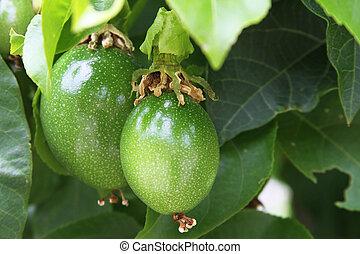 Two maracuya hanging on the tree - Two green maracuya fruit...