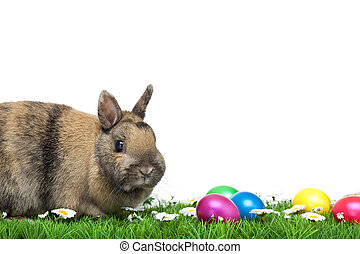 Easter bunny sitting in flower meadow with Easter eggs and marguerites. Isolated on white Background.