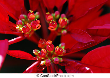 Red Poinsettia Flowers on Christmas - an isolated shot of...