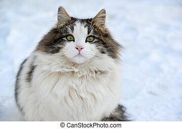Longhaired cat sitting on the snow - A Longhaired cat...