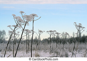 Winter field and Sosnowsky hogweed stems