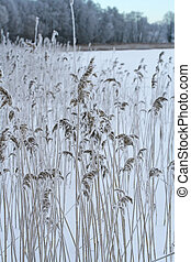 Phragmites, the common reed, panicle covered with snow