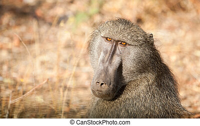 Baboon in Kruger National Park - Cape baboon in an open...