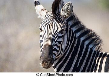 Zebra in Kruger National Park - portrait of a plains zebra...