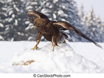 Golden eagle Aquila chrysaetos - The bird of prey at its...