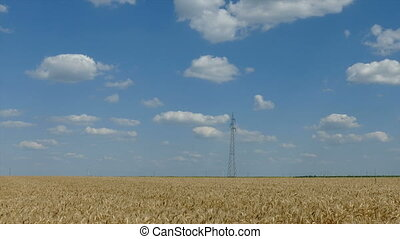 Wheat field in summer, panning - Agriculture, wheat field in...