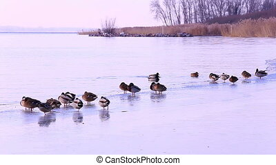 Many mallards on the lake in winter