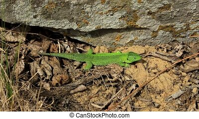 Green lizard basking in the sun - Green lizard basking near...
