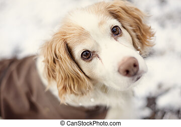 spaniel - Snow in Cottingham East Yorkshire February