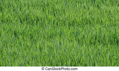 Wheat plant in field, panning - Agriculture, green wheat...