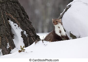 Marten beech /Martes foina/ - Focused on the head of this...