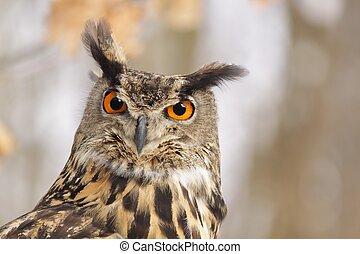Beautiful Eagel owl Bubo Bubo - Head of this bird of prey in...