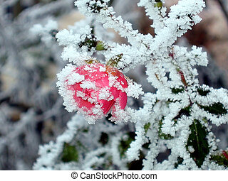 rose with white frost