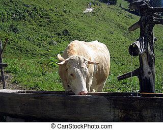 cow at a watering-place