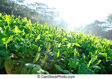 green pea plants in growth at vegetable garden
