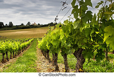 Grapes growing - Small grapes growing in a French vineyard