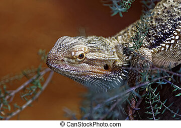 Eastern Bearded Dragons are native to Australia