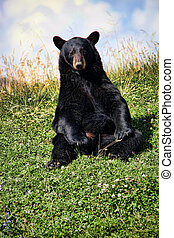 Black Bear in Mountain Meadow - A black bear (ursus...