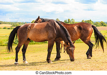 Majestic graceful brown horses in meadow. - Majestic...