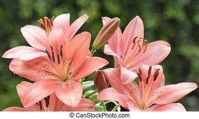 Red lily flowers - Wet red asian lily flowers swaying in the...