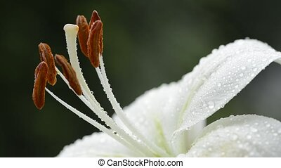 Center of a lily flower - Close up center of a pale white...