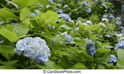 Pale blue hydrangea flower field in rain