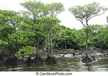 Mangrove Forest of Nakama River - Mangrove Forest at upper...