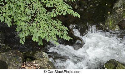Brook and snowbell tree - White brook flowing among stones...