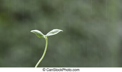 Cotyledon in rain - Close up wet green melon cotyledon in...