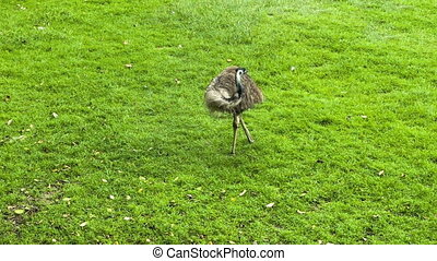 Ostrich on the grass - Ostrich staying on the green grass
