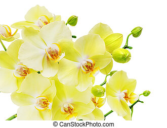 Yellow and green orchid flowers isolated on white - Branch...