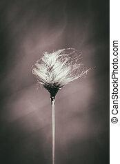 Tussock cottongrass - Eriophorum vaginatum in a macro shot -...