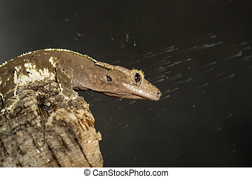 New Caledonian crested geckos under the water - New...