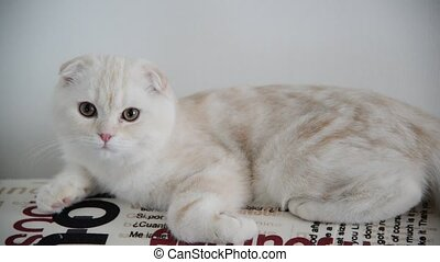 Beige Scottish Fold kitten 4 month lay back on couch - Beige...