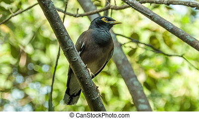 Myna bird on branch - Myna bird tweeting on branch