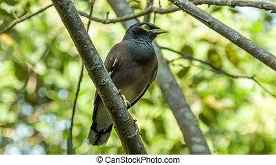 Myna bird on branch - Myna bird tweeting on branch