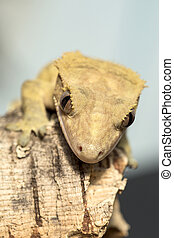 Face of a new Caledonian crested gecko - Closeup of the...
