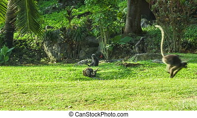 Monkeys play on the sunny lawn - Monkeys play on the sunny...