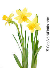 Daffodils - Yellow daffodils isolated on white