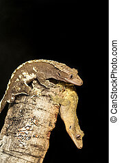 Couple of new Caledonian crested geckos on a branch - Couple...