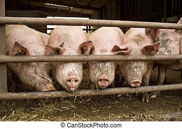 cerdo