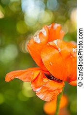 orange poppies blooming in the garden