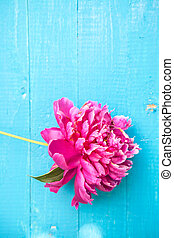 peony flowers on blue wooden background