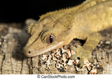 New Caledonian crested gecko on a branch - Closeup of a new...