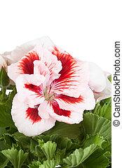 Flowers of bicolor geranium