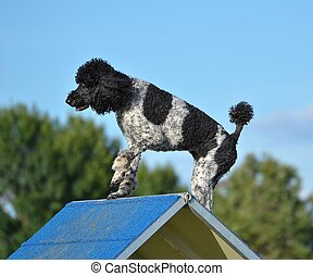 Spotted Standard Poodle at Dog Agility Trial - Spotted...