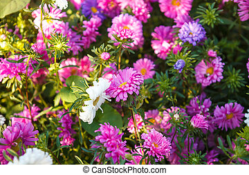 blooming asters in flowerbed shallow depth of field