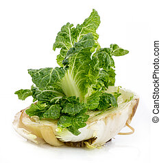 cabbage regrowing from scrap over white background