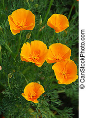 yellow california poppy flower - isolated shot of a yellow...